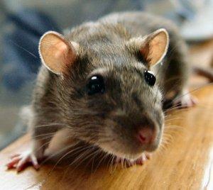 PERIODISMO: el reto es no ser rata